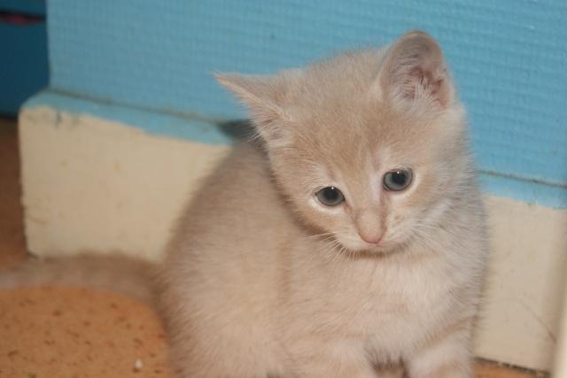 Chipie adorable chatonne de couleur crème ( RESERVER ) Dsc04917