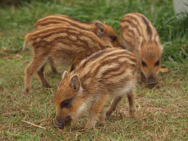 Les 5 petits cochons A10