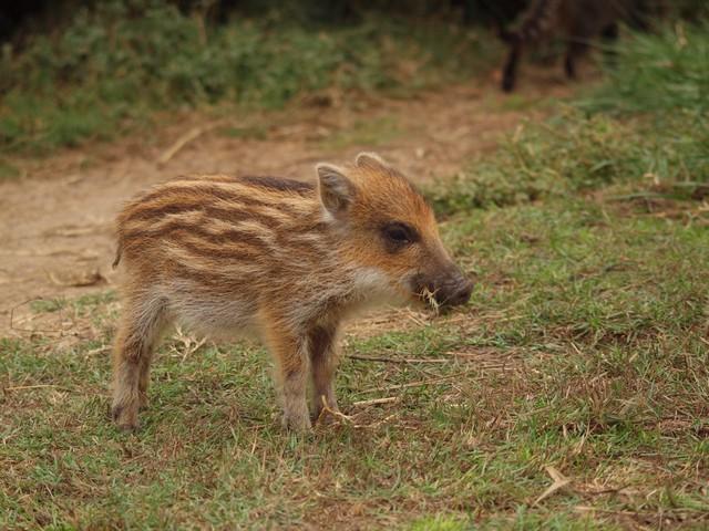 Les 5 petits cochons E10