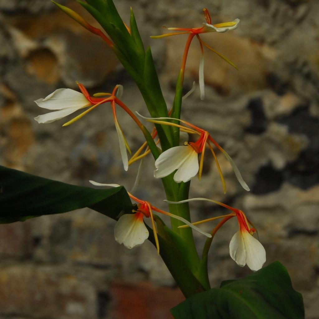 Hedychium spicatum Dsc_9110