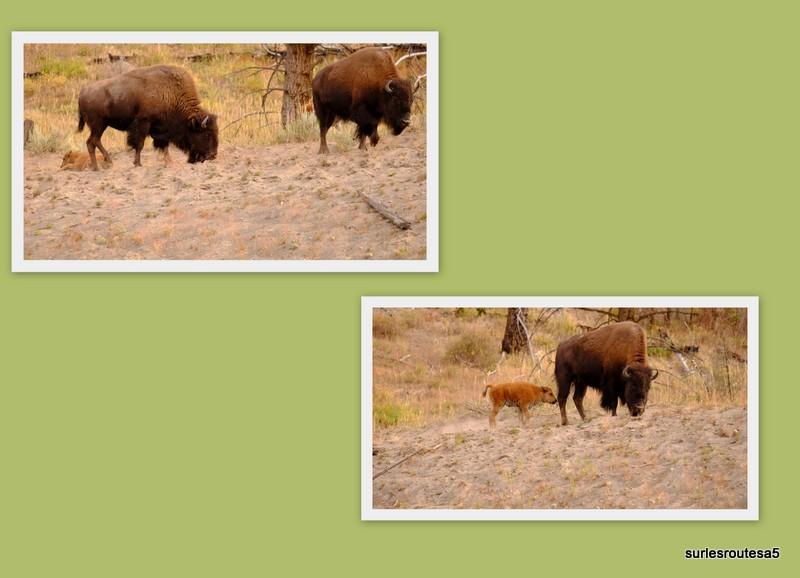Le Parc National de Yellowstone. 12_yel15