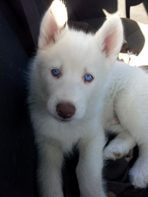 All white huskies, then and now pics please! 111