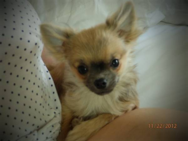LOST MALE LONG HAIR CHIHUAHUA (EAST FLORENCE)  Aldog610