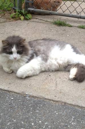 MISSING CAT- BOSTON Bostca10