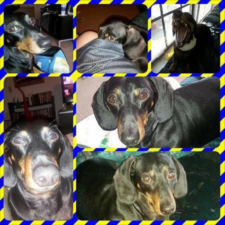 LOST DOG- WEST INDIANAPOLIS Dashin10