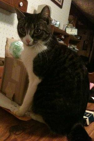 MISSING CAT Franki10