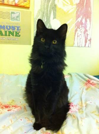 MISSING BEAUTIFUL BLACK CAT Nycat10