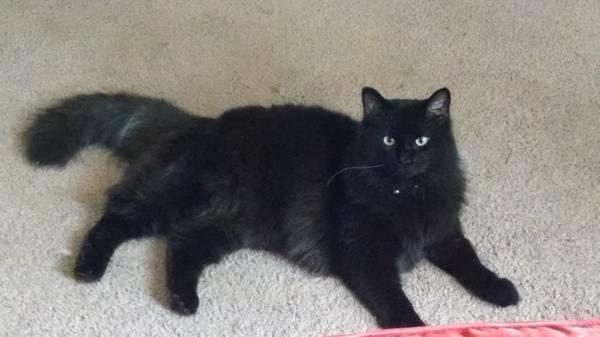 Beautiful Fluffy Cat - Roch/Gates Area MISSING 4/29 Roch111