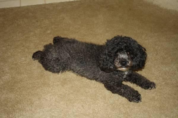 Lost Black Poodle - Samantha- Roch Area Roch2_10