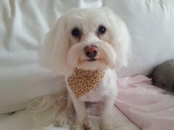 Missing Dog Sweetg10