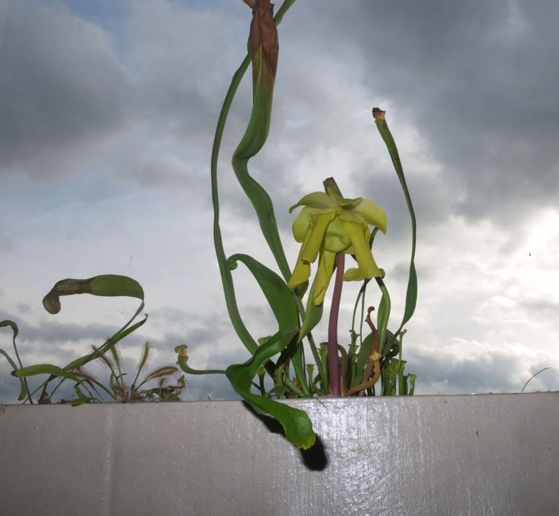 Ma 1ere fleur de Sarra au boulot !... Ap109010