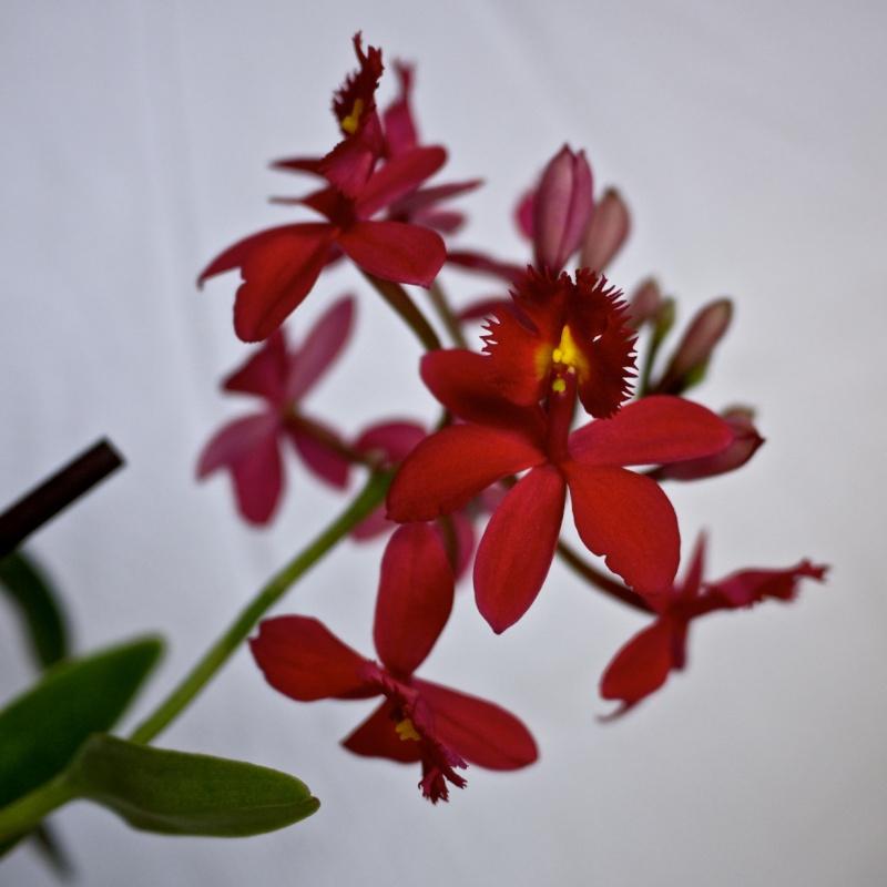 Epidendrum hybride?... P1090813