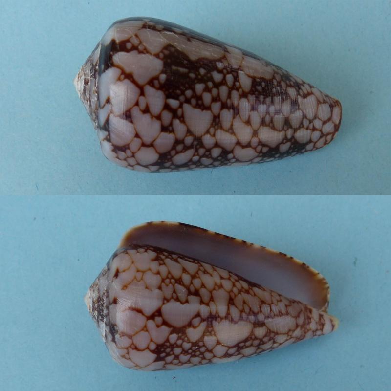 Conus (Darioconus) pennaceus bazarutensis   Fernandes & Monteiro, 1988 206_co10
