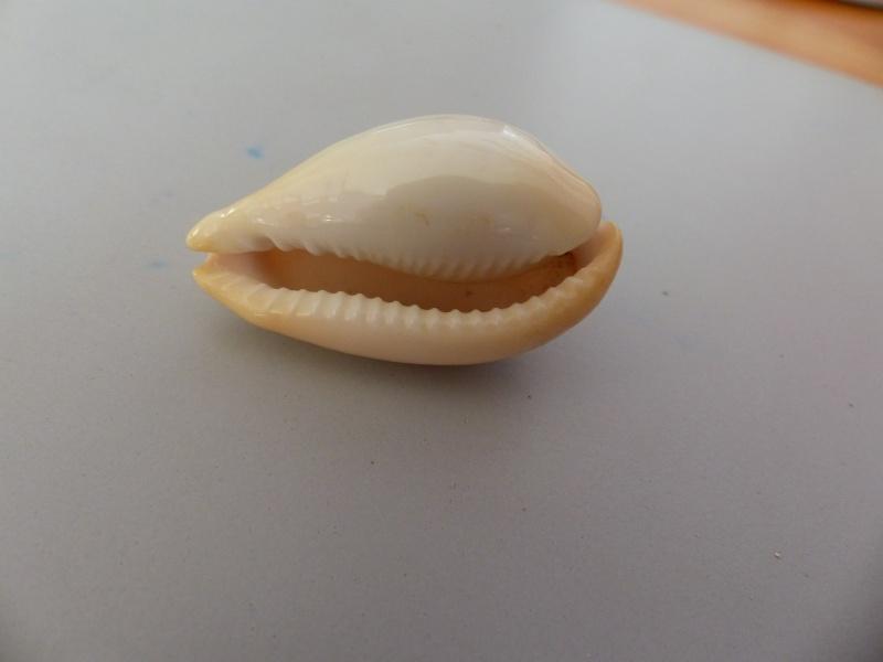 Erronea nymphae - (Jay, 1850) P1040022