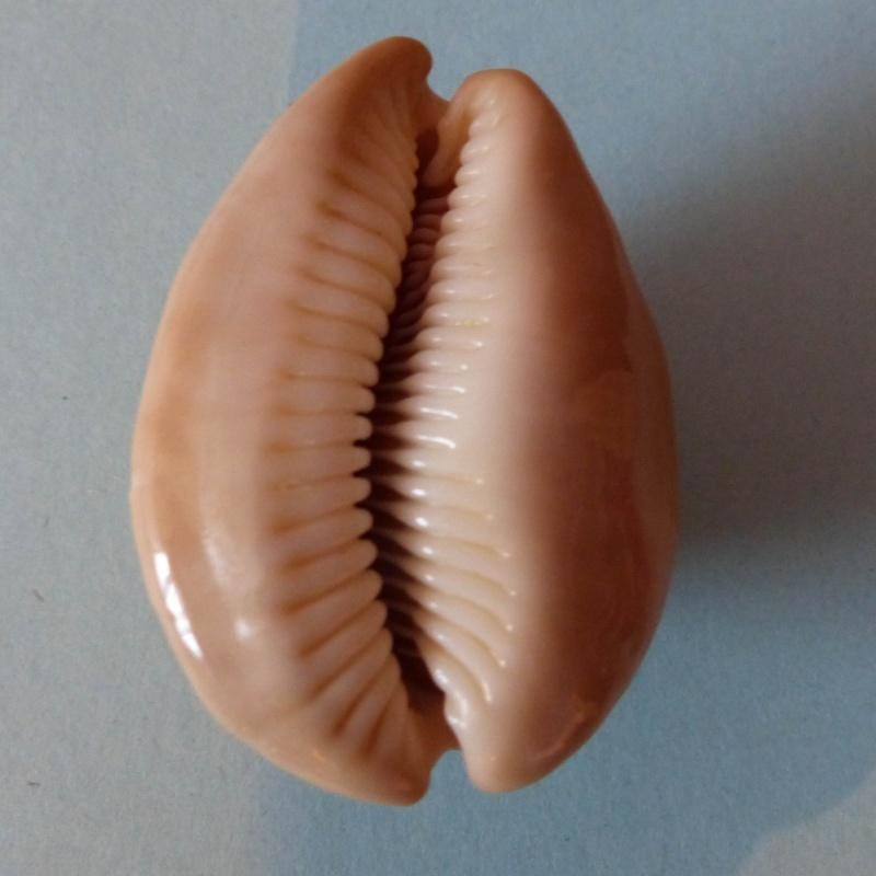 Lyncina sulcidentata - (Gray, 1824) Sulcid11