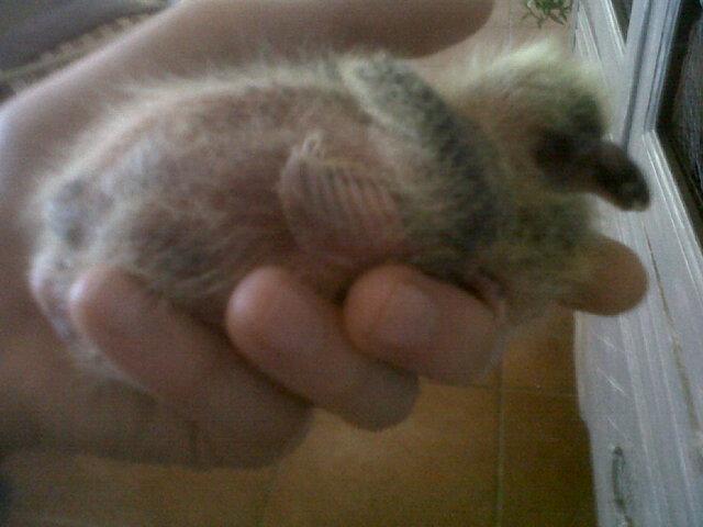 mon bébé pigeonneau Img01623