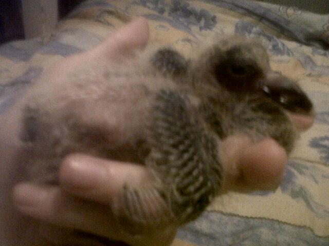 mon bébé pigeonneau Img01624
