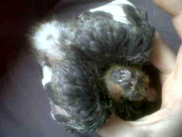 mon bébé pigeonneau Img01628