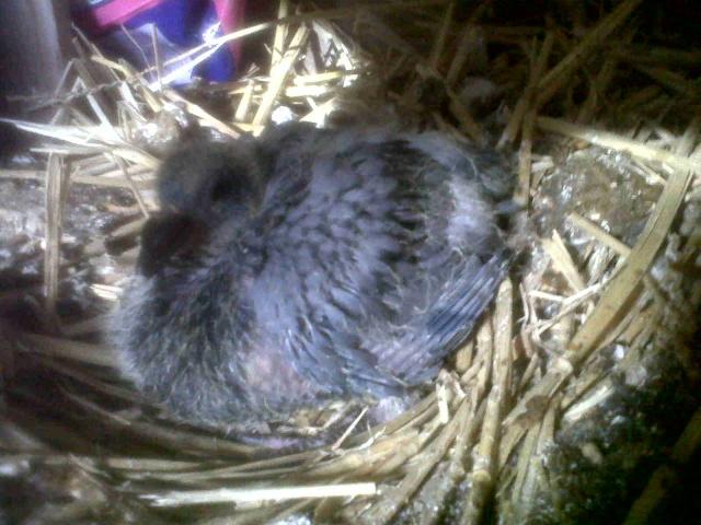 mon bébé pigeonneau Img01629