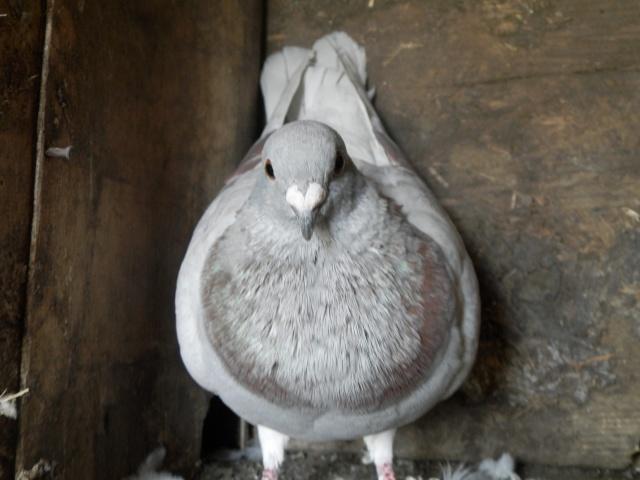 photo pigeon voyageurs P8170313