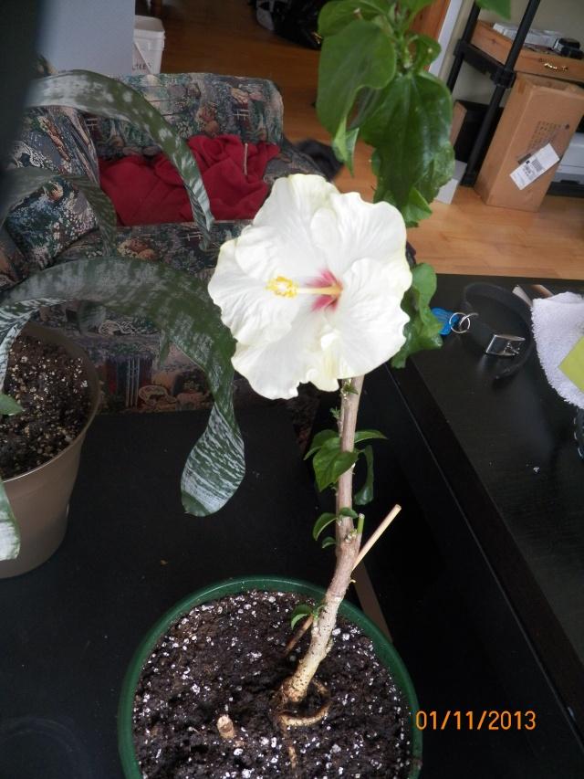 Pour identification pour un hibiscus !!! Lison_26