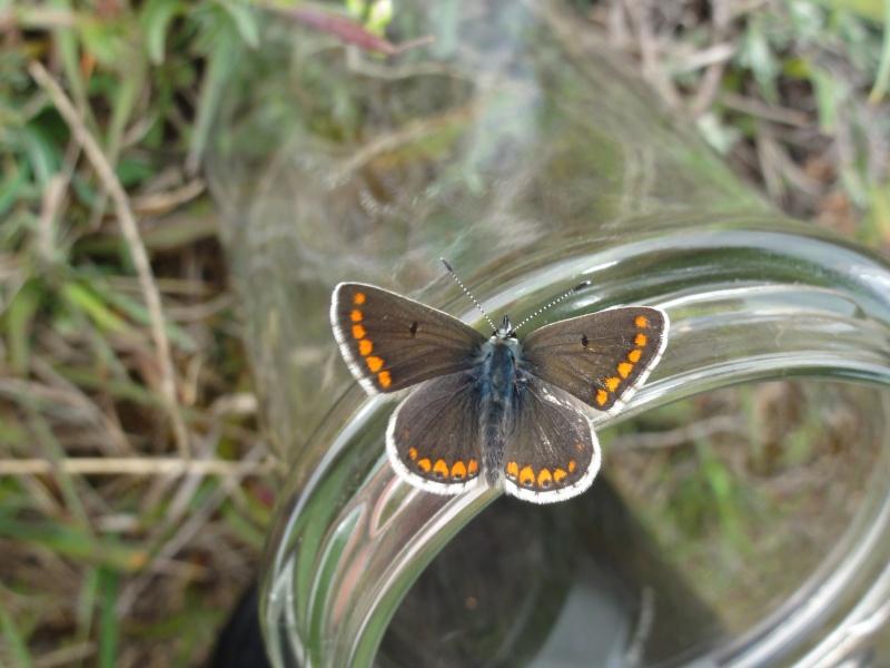 Premières observations de papillons en 2014 - Page 3 Dsc07012