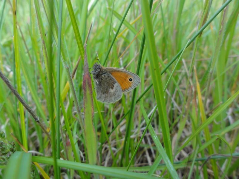 Premières observations de papillons en 2014 - Page 3 Dsc07013