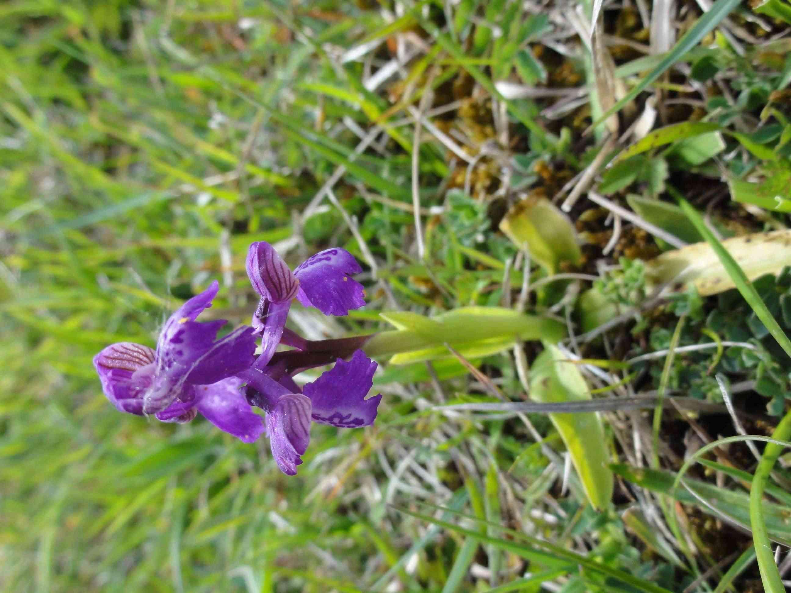 ID Orchidées des dunes Dsc07022