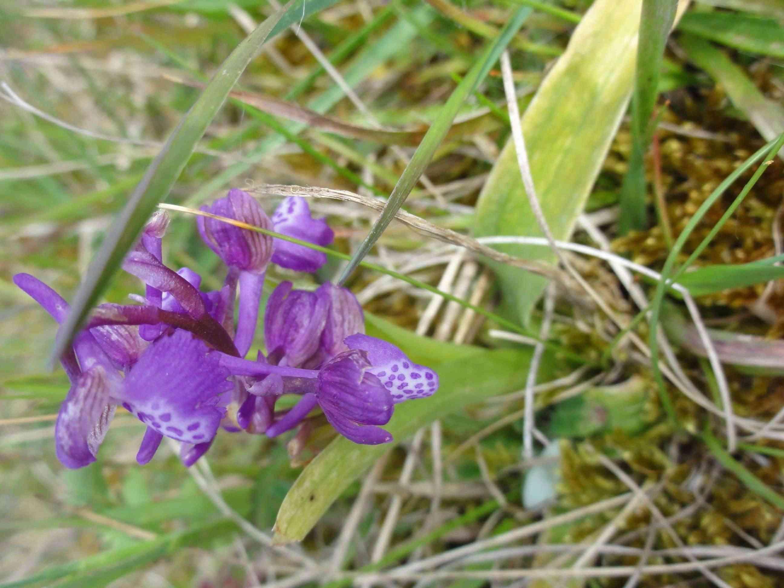 ID Orchidées des dunes Dsc07023