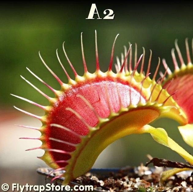 "Dionaea ""Eyelashes"" et ""Biohazard"" A210"