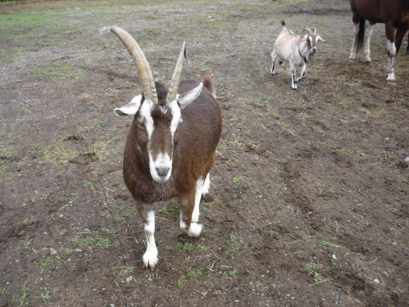 Belle chèvre à la recherche d'un foyer P1030611