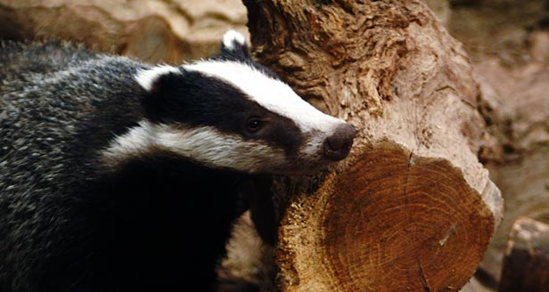 Facts About Badgers Th27