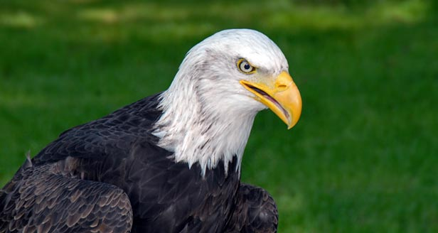 Facts About Bald Eagles Th28