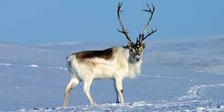 Facts about Caribou Th30