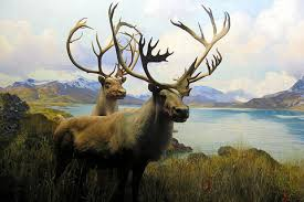 Facts about Caribou Th31