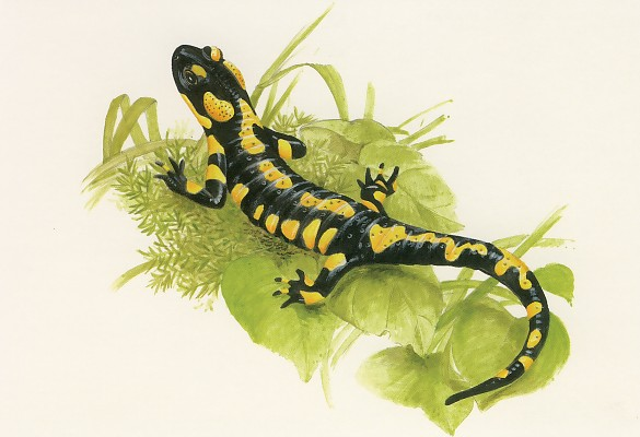 La Salamandre, symbolisme Salama10