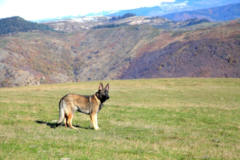 Ico, berger allemand et Misca, leonberg. - Page 2 Img_8012
