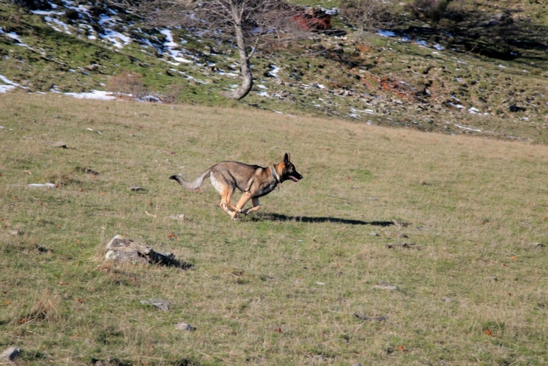Ico, berger allemand et Misca, leonberg. - Page 2 Img_8111