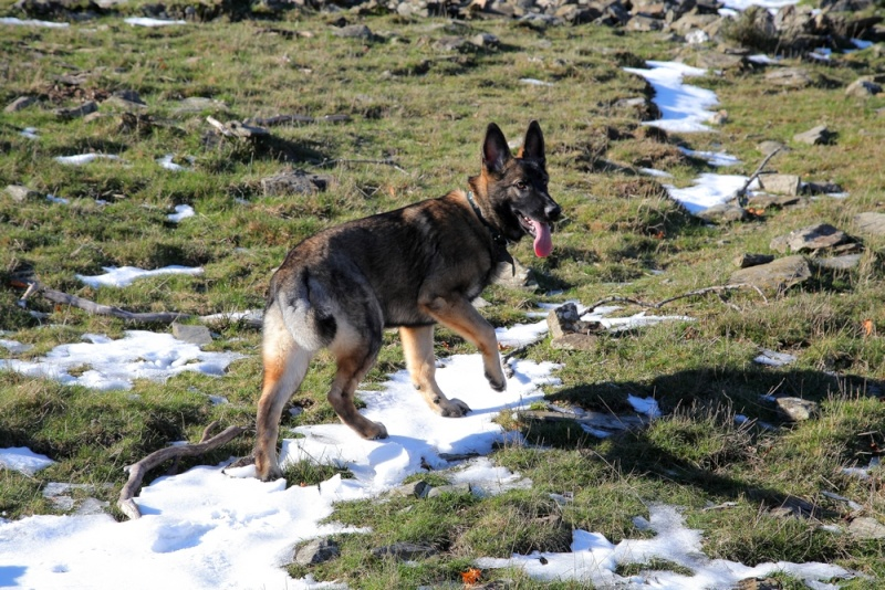 Ico, berger allemand et Misca, leonberg. - Page 2 Img_8112