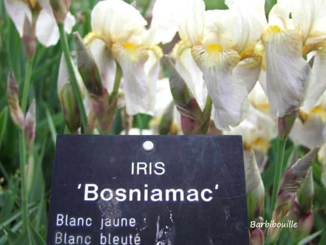 Iris du jardin botanique de Nancy. 03_mai17