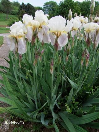Iris du jardin botanique de Nancy. 03_mai18