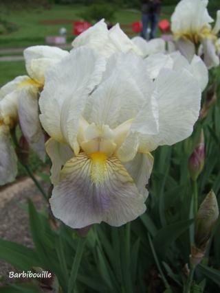 Iris du jardin botanique de Nancy. 03_mai19