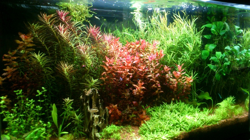 aquarium 54litres planté - Page 3 01510