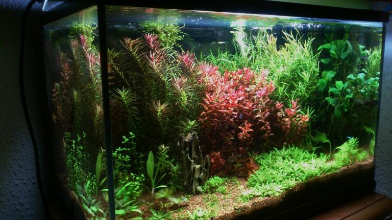 aquarium 54litres planté - Page 3 02011
