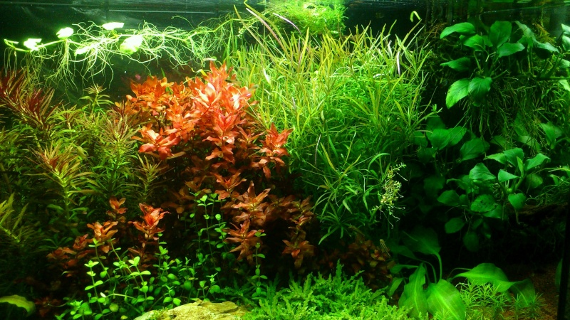 aquarium 54litres planté - Page 3 02613