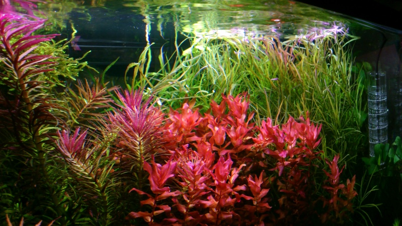 aquarium 54litres planté - Page 3 03810