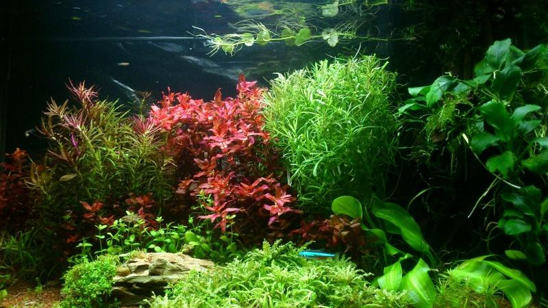 aquarium 54litres planté - Page 3 06410