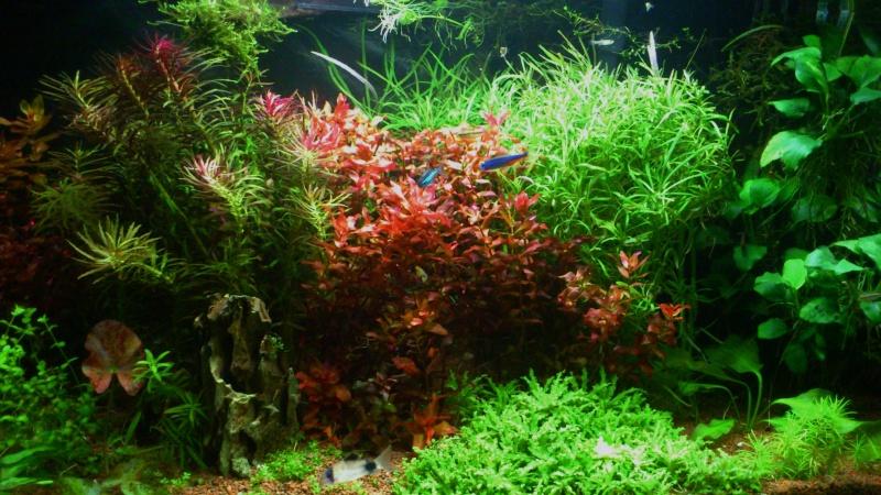 aquarium 54litres planté - Page 3 06610
