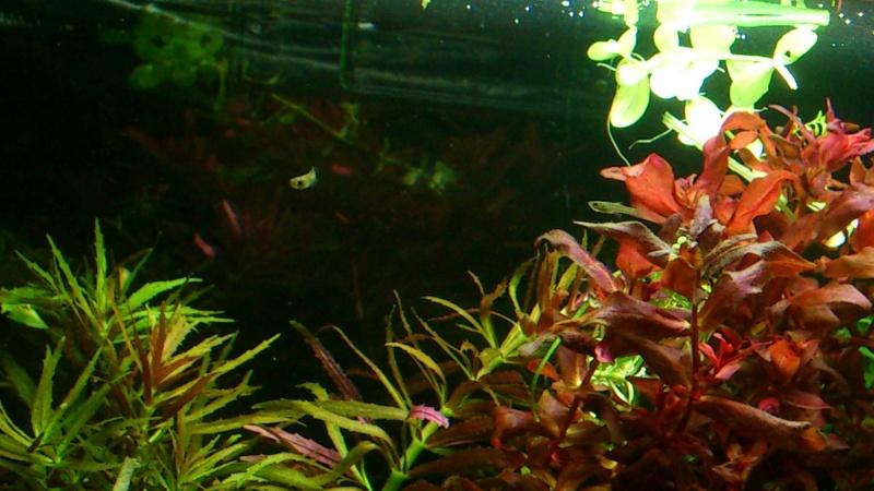 aquarium 54litres planté - Page 2 06710
