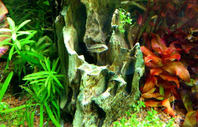 aquarium 54litres planté - Page 3 06810